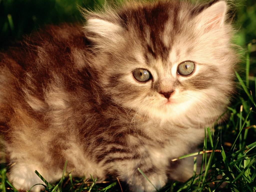 Где купить котенка в Новосибирске?
