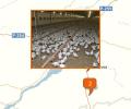 Где расположены крупные птицефабрики Новосибирска?